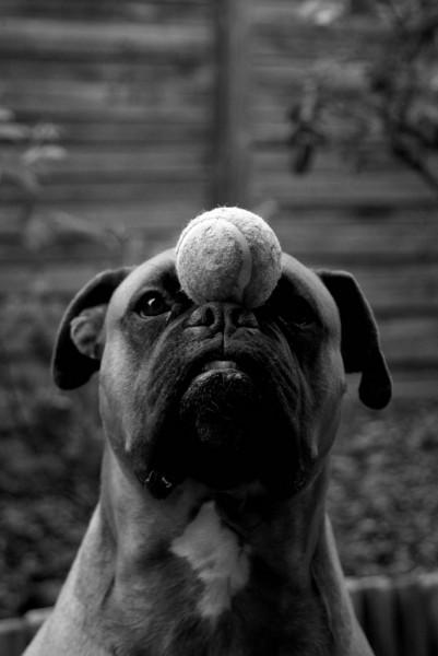 La metafora dei cane allo specchio - Cane allo specchio ...