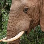 L'elefante triste