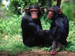 le due scimmie